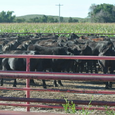 Steers in corrals by home