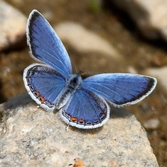 From Milton Leitenberg: 'little blue', Julian's favorite butterfly.