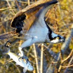 "Did you send this osprey to give this ""LUCKY"" HERRING an aerial view of Mashpee???"