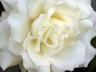 White Rose small