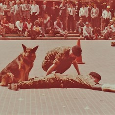 Paul and his MWD (Military Working Dog) taking down a suspect.  (San Francicso, CA, November, 1980)